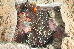 BD-111125-Raja-Ampat-5274-Amphiprion-ocellaris.-Cuvier.-1830-[Clown-anemonefish].jpg